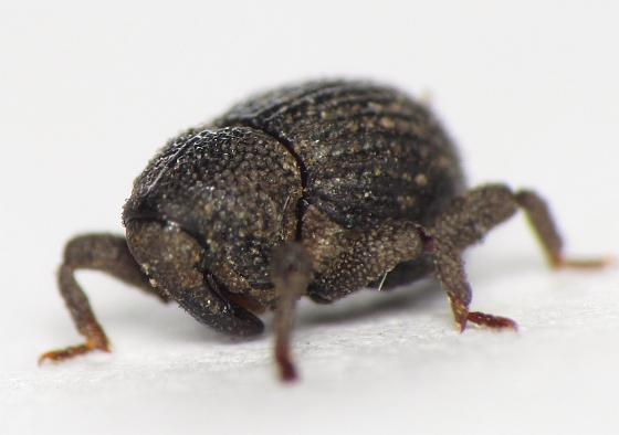 Eurhoptus
