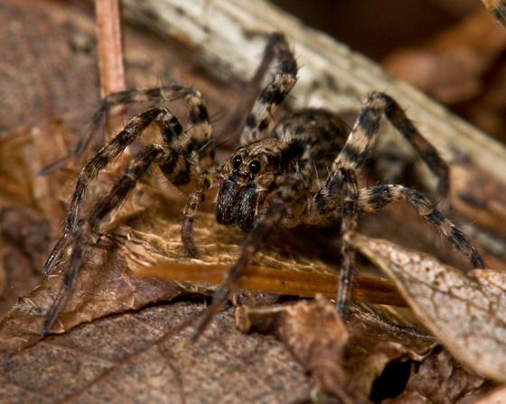 Wolf Spider #1 - Gladicosa