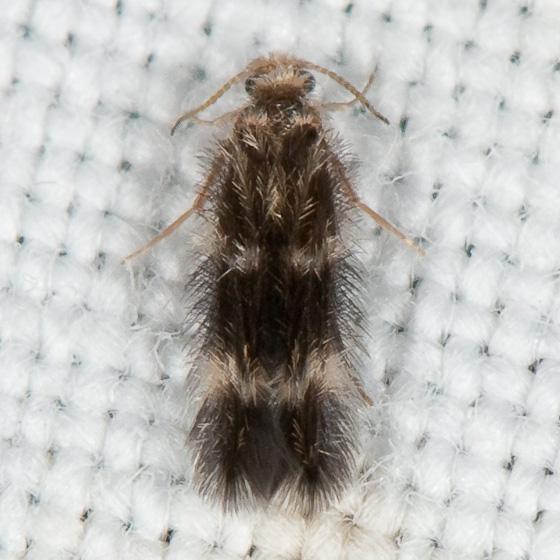 Hydroptilidae