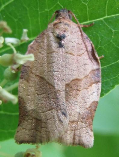 moth 2 - Choristoneura rosaceana