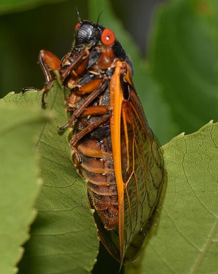 17 year cicada - Magicicada septendecim