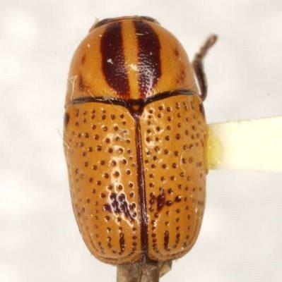 Cryptocephalus binotatus R. White - Cryptocephalus binotatus