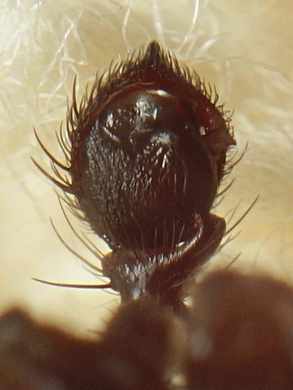 Coriarachne? - Coriarachne brunneipes - male