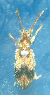 Anthicid - Notoxus desertus