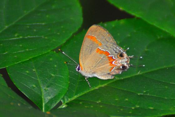ukn - Calycopis cecrops