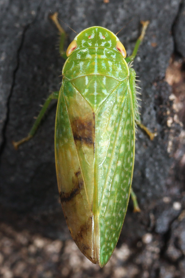 leafhopper - Rugosana querci