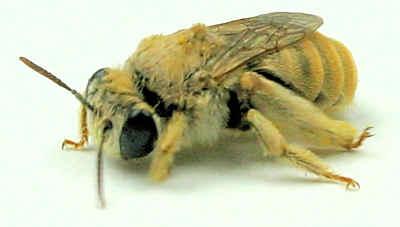 Bee - Tetraloniella eriocarpi - female