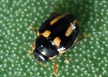 Lady beetle associated with cochineal - Hyperaspis trifurcata