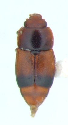 Carpophilus 01 - Carpophilus antiquus