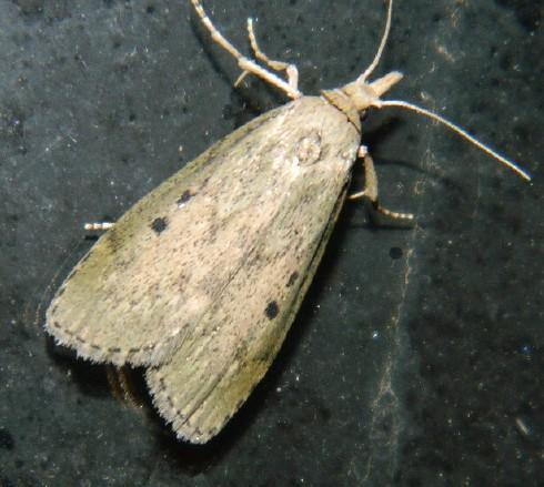 Hodges#5629 (Aphomia sociella) - Aphomia sociella - female