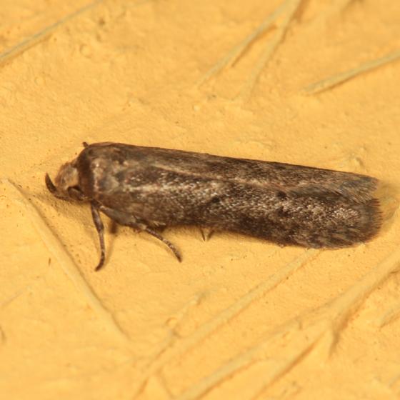 moth - Holcocera