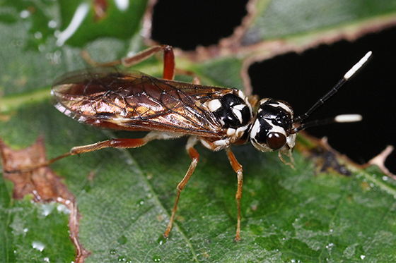 sawfly - Taxonus pallidicornis