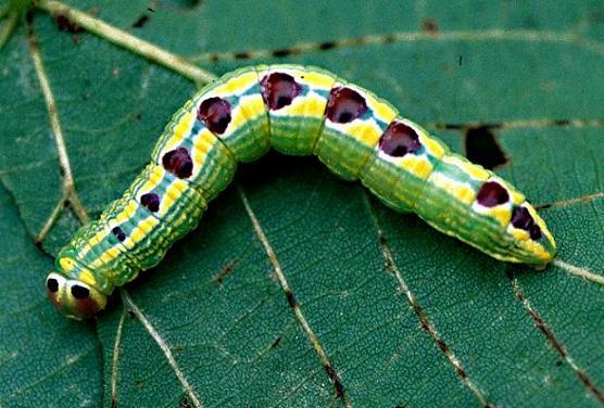 Linden Prominent Larva - Ellida caniplaga