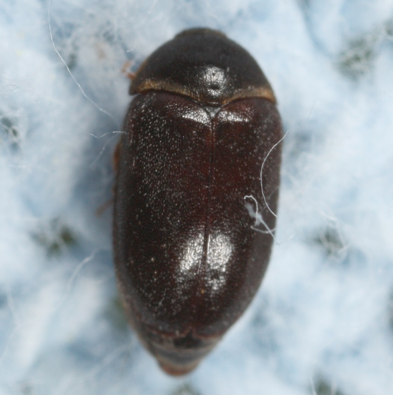Beetle On My Bed Attagenus Brunneus Bugguide Net