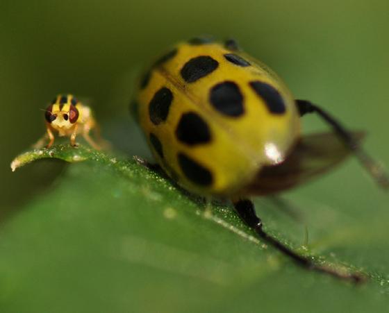 Tiny yellow fly - Thaumatomyia