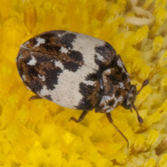 Beetle IMG_9886 - Anthrenus pimpinellae