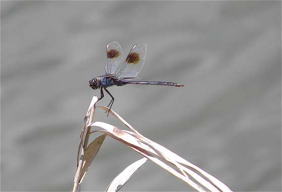 Four-spotted Pennant - Brachymesia gravida - male