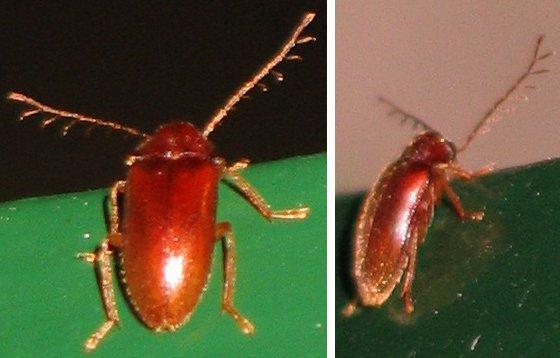 Toed-winged Beetle - Ptilodactyla serricollis - male