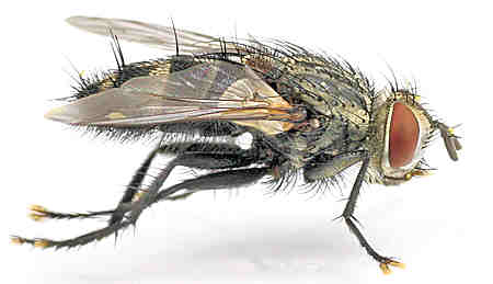 Tachinidae --? - Exorista