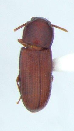 Teneb - Gnatocerus