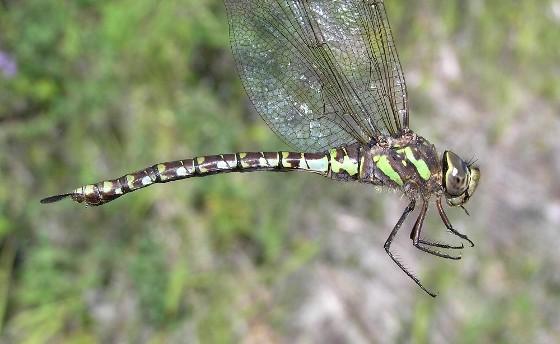 Canada Darner (heteromorph) - Aeshna canadensis - female