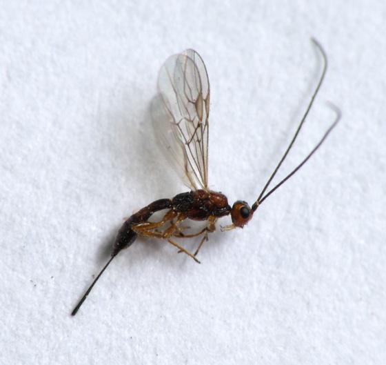 Goldenrod round gall parasitoid - Heterospilus eurostae - female