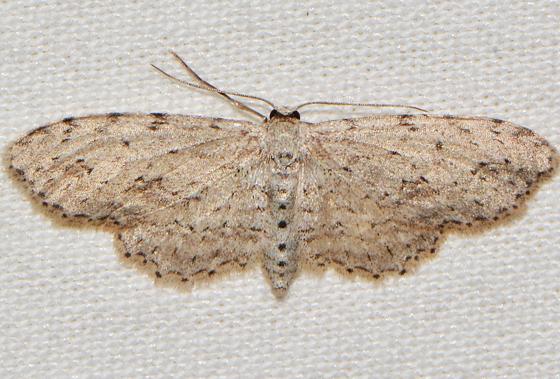Pimaphera sparsaria - female
