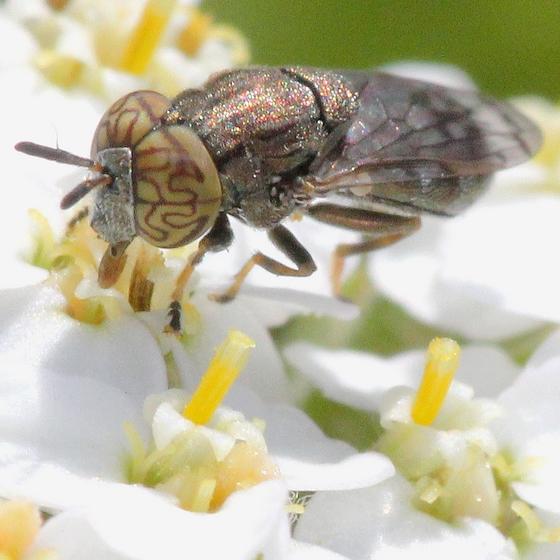 MN Sep - Orthonevra nitida - male