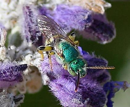 Agapostemon of some kind - Agapostemon texanus - male