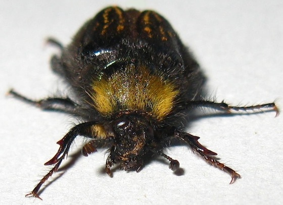 Bumble Bee Scarab Beetle - Lichnanthe rathvoni