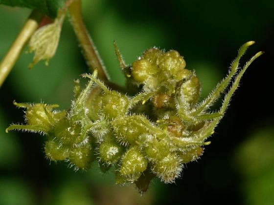 galls on wild grape - Daktulosphaira vitifoliae