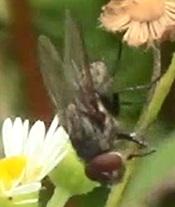 Pollenia fly?