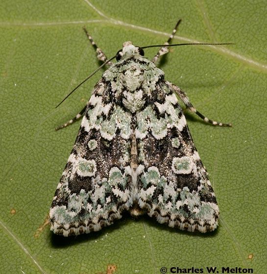 Lacinipolia strigicollis