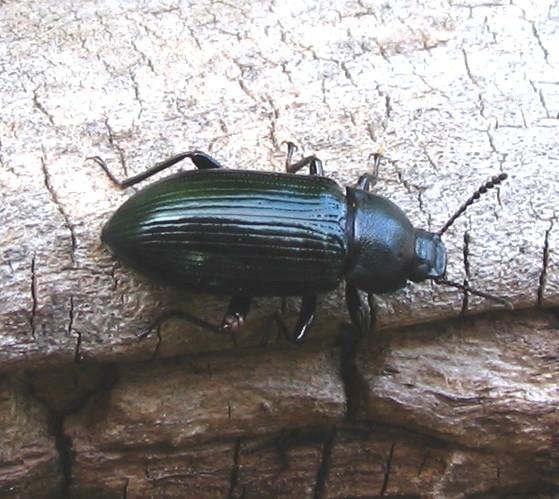 Beetle - Centronopus calcaratus