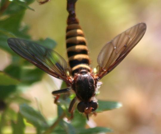 Pritchardomyia vespoides - male