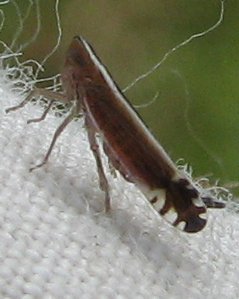 Planthopper - Stenocranus acutus