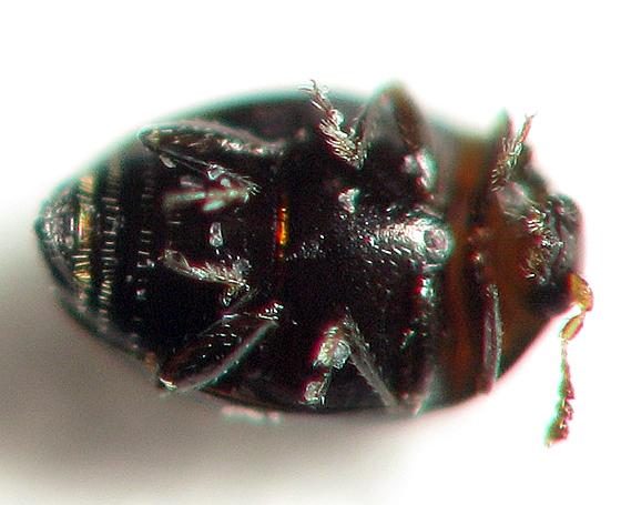Very Tiny Beetle - Orthoperus