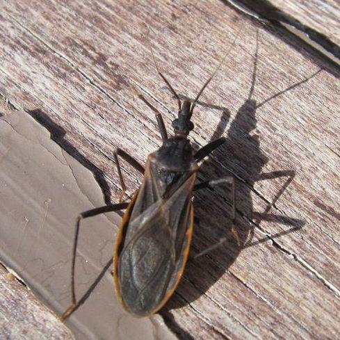 kissing bug. Kissing bug - Triatoma rubida