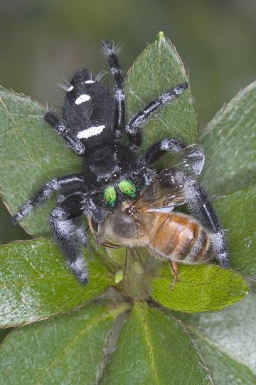regal jumping spider - Phidippus regius - male