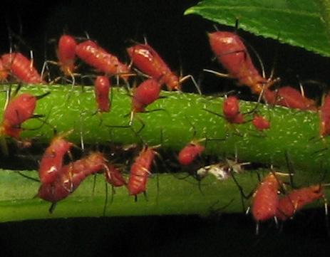 Aphids on Asteraceae - Uroleucon obscuricaudatum - female