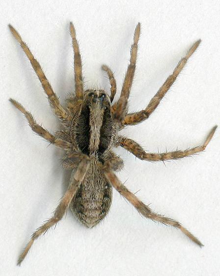 Pardosa distincta? - Schizocosa - female