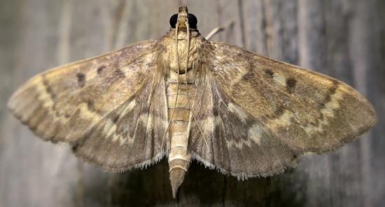 moth - Herpetogramma aeglealis