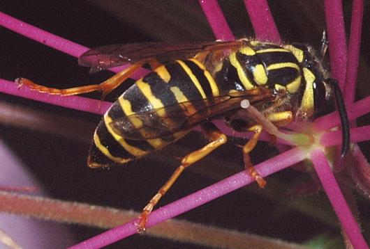 Southern Yellowjacket - Vespula squamosa