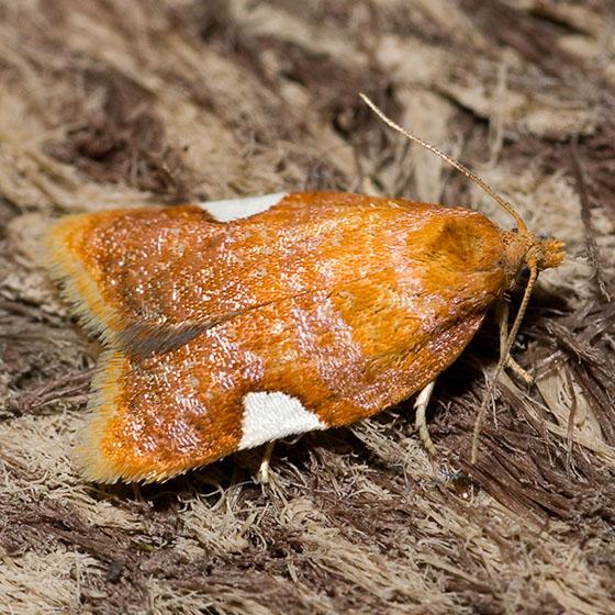 Acleris holmiana