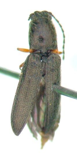 Limonius 05 - Limonius basilaris - male