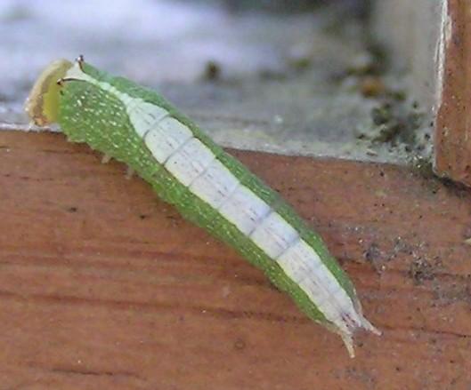 Prominent - Heterocampa astartoides