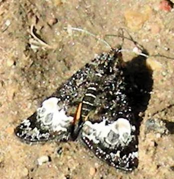 Moth # 08-32 - Annaphila astrologa