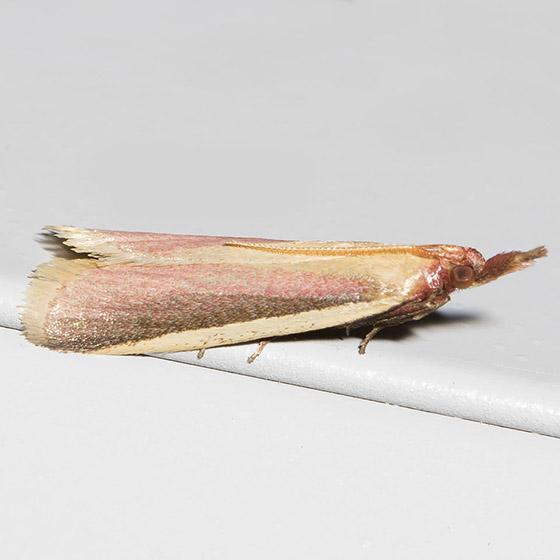 Carmine Snout Moth - Hodges#6053 - Peoria approximella