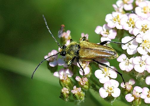 Cosmosalia chrysocoma - Lepturobosca chrysocoma