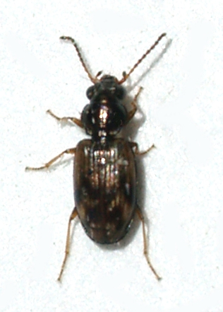 Very small Carabid - Bembidion